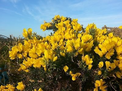Gorse Bushes For Sale