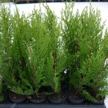 10x-GOLD-LEYLANDII-Hedging-Plants-Evergreen-a268-0