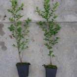 5-Green-Privet-Hedging-Plants-Ligustrum-Hedge-20-40cm-Dense-Evergreen-Potted-0-0