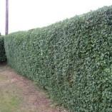 5-Green-Privet-Hedging-Plants-Ligustrum-Hedge-20-40cm-Dense-Evergreen-Potted-0-1