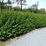 5-Green-Privet-Hedging-Plants-Ligustrum-Hedge-20-40cm-Dense-Evergreen-Potted-0-2