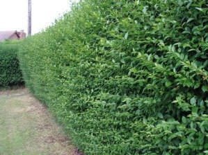 5-Green-Privet-Hedging-Plants-Ligustrum-Hedge-20-40cm-Dense-Evergreen-Potted-0