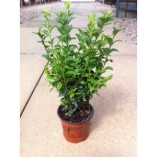 50-x-Buxus-Sempervirens-15-25cm-in-9cm-pot-a266-0
