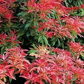 9cm-Pot-Pieris-Forest-Flame-Large-Evergreen-Garden-Shrub-Plant-0