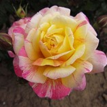 ALL-AMERICAN-MAGIC-4lt-Potted-Hybrid-Tea-Garden-Rose-Bush-Fragrant-Red-Yellow-Stripe-0-0