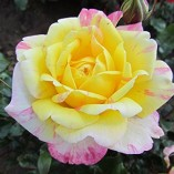 ALL-AMERICAN-MAGIC-4lt-Potted-Hybrid-Tea-Garden-Rose-Bush-Fragrant-Red-Yellow-Stripe-0-1