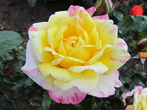 All American Magic 4lt Potted Hybrid Tea Garden Rose