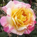 ALL-AMERICAN-MAGIC-4lt-Potted-Hybrid-Tea-Garden-Rose-Bush-Fragrant-Red-Yellow-Stripe-0