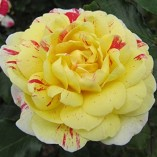 ALL-AMERICAN-MAGIC-4lt-Potted-Hybrid-Tea-Garden-Rose-Bush-Fragrant-Red-Yellow-Stripe-0-3