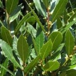 Bay-Tree-Laurus-nobilis-culinary-herb-plant-aromatic-leaves-evergreen-garden-shrub-9cm-pot-FREE-DELIVERY-0