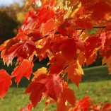 Celebration-Maple-Tree-Acer-freemanii-Celebration-0-0