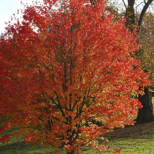 Celebration-Maple-Tree-Acer-freemanii-Celebration-0
