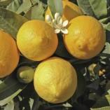 Citrus-Lemon-Tree-12M-tall-0-1