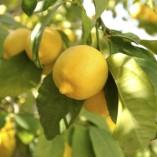 Citrus-Lemon-Tree-12M-tall-0