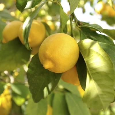Citrus-Lemon-Tree-12M-tall-0
