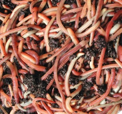 Composting-Worms-250g-0