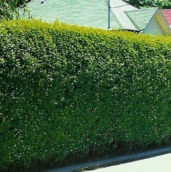 Grow-Your-Secret-Garden-Privet-Hedging-Shrub-Seeds-0