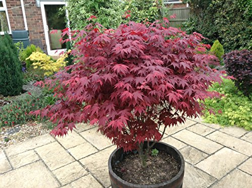 Japanese-Purple-Maple-Tree-Acer-Palmatum-Atropurpureum-Plant-15-20cm-Tall-In-a-9cm-Pot-0