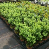 Pack-of-6-Buxus-Sempervirens-Box-Hedging-Buxus-Sempervirens-Box-Hedging-Approximately-20cm-Tall-Evergreen-Hedge-Plants-0-0