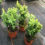 Pack-of-6-Buxus-Sempervirens-Box-Hedging-Buxus-Sempervirens-Box-Hedging-Approximately-20cm-Tall-Evergreen-Hedge-Plants-0