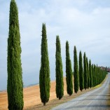 Pair-of-Italian-Cypress-Trees-Set-of-2-14M-tall-0-0