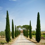 Pair-of-Italian-Cypress-Trees-Set-of-2-14M-tall-0-1