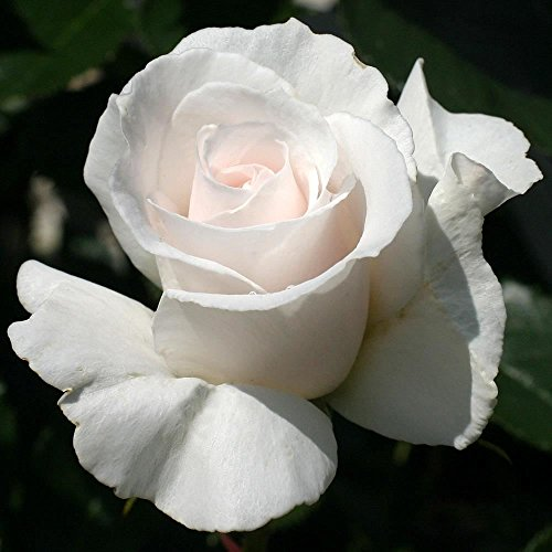 Perfect-Plants-35-Litre-Margaret-Merril-Garden-Bush-Rose-in-a-Pot-0