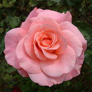 Rose-Bush-Congratulations-Free-Personalisation-0