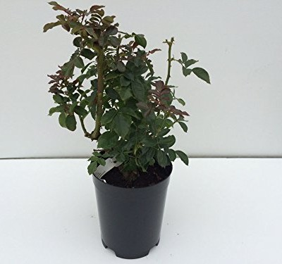 STRAWBERRIES-AND-CREAM-4lt-Potted-Patio-Garden-Rose-Bush-RedCream-Stripe-0-4