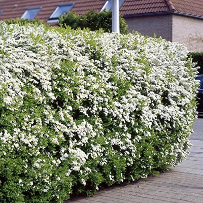 Spirea-arguta-Hedge-5-hedge-plants-0